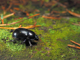 Forest Dung Beetle (Geotrupes Stercorosus), Estonia Photographic Print by Heiti Paves