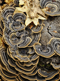 Turkey Tails (Trametes Versicolor) Growing on a Stump, Southwest Oregon, USA Photographic Print by Robert & Jean Pollock