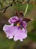 Orchid Flower, Puracâ» National Park, Department Cauca, Colombia Photographic Print by Thomas Marent