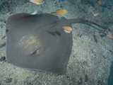 Roughtail Stingray (Dasyatis Centroura) Photographic Print by Andy Murch