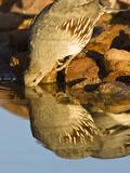 Gambel's Quail Drinking at a Desert Waterhole (Callipepla Gambelii), Southwestern USA Photographie par Joe McDonald