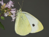 Cabbage White Butterfly (Pieris Rapae) Photographic Print by Robert Servranckx