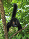 Male Black Lemur (Eulemur Macaco Macaco) Lokobe Nature Special Reserve, Northern Madagascar Photographic Print by Thomas Marent