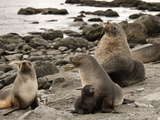 Ant Fur Seals (Arctocephalus Gazella) on a Beach with the Harem Bull Photographic Print by Joe McDonald
