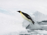 Emperor Penguin (Aptenodytes Forsteri) Leaping, or Porpoising, from Water onto Ice, Weddell Sea Photographic Print by Paul & Paveena McKenzie