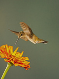 Black-Chinned Hummingbird Hovering Above Flower That it Will Seek Nectar from and Pollinate Photographic Print by Jack Milchanowski