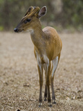 Barking Deer (Muntiacus Muntjac) Photographic Print by Jeffrey Miller