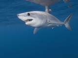 Juvenile Shortfin Mako Shark (Isurus Oxyrinchus), About 1 M (3Ft) Long, San Diego, Pacific Ocean Photographic Print by Andy Murch