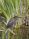 Green Heron (Butorides Striatus) Photographic Print by Robert Servranckx