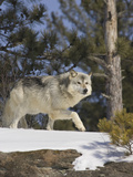 Gray Wolf (Canis Lupus) in the Woods, Northern Minnesota, USA Photographic Print by Jack Milchanowski