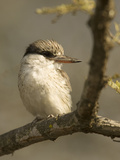 Striped Kingfisher, Halcyon Chelicuti, Africa Photographic Print by Joe McDonald