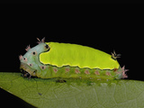 Yellow Backed Caterpillar (Acharihorrida) Photographie par Jeffrey Miller