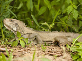 Green Iguana (Iguana Iguana), Pantanal, Brazil Photographic Print by Mary Ann McDonald