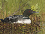 Common Loon (Gavia Immer) Sitting on Nest, Maine, USA Photographic Print by Garth McElroy