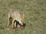 Golden Jackal Eating, Canis Aureus, Tanzania, Africa Photographic Print by Arthur Morris