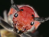 Red Milkweed Beetle Head (Tetraopes Tetraophthalmus) Photographic Print by Mark Plonsky