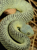 Bush Viper Snake (Atheris Squamiger) Green Phase, Africa Photographic Print by Jim Merli