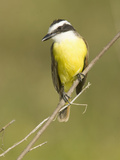 Great Kiskadee Flycatcher (Pitanga Sulphuratus), Southwestern North America Reproduction photographique par Joe McDonald