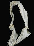 Jaw of a Sand Tiger or Gray Nurse Shark (Carcharias Taurus) Photographic Print by Andy Murch