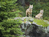 Gray Wolves (Canis Lupus), Bavarian Forest National Park, Germany, Europe Photographic Print by Fritz Polking