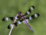 Male Twelve Spot Skimmer (Libellula Pulchella) Perched on a Stick Photographic Print by Mark Plonsky