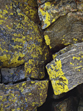Several Species of Crustose Lichens on a Rock Face, Alpine Tundra, Rocky Mountain National Park Photographic Print by Robert & Jean Pollock