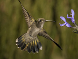 Magnificent Hummingbird Immature Female (Eugenes Fulgens) Feeding at a Sage Flower Fotografisk tryk af Charles Melton