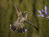 Magnificent Hummingbird Immature Female (Eugenes Fulgens) Feeding at a Sage Flower Fotografisk tryk af Charles Melton