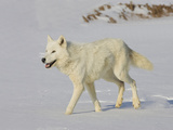 Gray Wolf (Canis Lupus) in Snow on Hillside, Northern Minnesota, USA Photographic Print by Jack Milchanowski