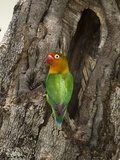 Fischer's Lovebird at its Nest Hole in a Tree Trunk (Agapornius Fischeri) Seregenti, Tanzania Reproduction photographique par Mary Ann McDonald