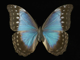 Adult Female Blue Morpho Butterfly (Morpho Amathonte) Photographie par Jeffrey Miller