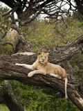 Juvenile African Lion (Panthera Leo), Serengeti National Park, Tanzania, Africa Photographic Print by Joe McDonald