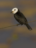 White-Headed Marsh Tyrant, Arundinicola Leucocephala, South America Photographic Print by Joe McDonald