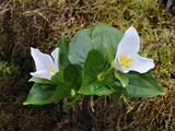 Pacific Trillium (Trillium Ovatum) Opening in the Spring, Cascade Range, Southwest Oregon, USA Photographic Print by Robert &amp; Jean Pollock