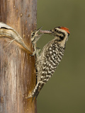 Ladder-Backed Woodpecker Male (Picoides Scalaris) Feeding Nestling in a Nest Cavity Photographic Print by Charles Melton