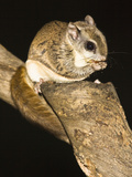 Northern Flying Squirrel (Glaucomys Sabrinus), North America Photographic Print by Joe McDonald