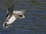 American Wigeon Drake Landing, Anas Americana, North America Photographic Print by Arthur Morris
