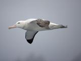 Wandering Albatross in Flight (Diomedea Exulans), Falkland Islands Photographic Print by Joe McDonald