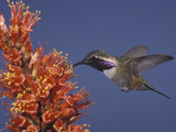 Male Lucifer Hummingbird Nectaring on Ocotillo Flowers, Western USA Photographic Print by Charles Melton