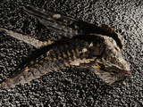 A Nightjar (Caprimulgus Europaeus) Killed by Cars, Europe Photographic Print by Fabio Pupin