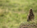Tawny Eagle (Aquila Rapax), Masai Mara Game Reserve, Kenya Photographic Print by Joe McDonald