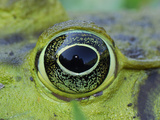 Eye of the North American Bullfrog (Rana Catesbeiana) Photographic Print by Thomas Marent