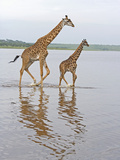 Adult and Young Masai Giraffe, Giraffa Camelopardalis, Walking in Lake Ndutu, Serengeti, Tanzania Photographic Print by Fritz Polking