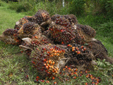 Harvested Oil Palm Fruits, Sabah, Borneo, Malaysia Photographic Print by Thomas Marent