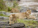 African Lions (Panthera Leo), Masai Mara, Kenya Photographic Print by Mary Ann McDonald