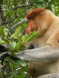 Male Proboscis Monkey Eating Leaves (Nasalis Larvatus), Sabah, Borneo, Malaysia Photographic Print by Thomas Marent