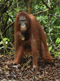 Female Bornean Orangutan with a Baby (Pongo Pygmaeus) Tanjung Puting National Park, Kalimantan Photographic Print by Thomas Marent