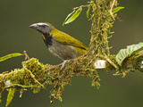 Buff-Throated Saltator (Saltator Maximus), Costa Rica Photographie par Joe McDonald