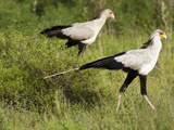 Secretary Birds (Sagittarius Serpentarius) Walking and Hunting in Grass Photographic Print by Mary Ann McDonald