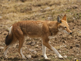 Ethiopian Wolf (Canis Simensis), Bale Mountains National Park, Ethiopia Photographic Print by Mary Ann McDonald